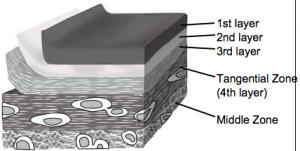 軟骨最表層の構造